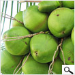 Green coconut (above 100 coconuts)