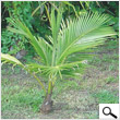 Babycoconut tree (48 inches)